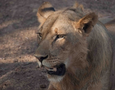 Lion - South Luangwa NP