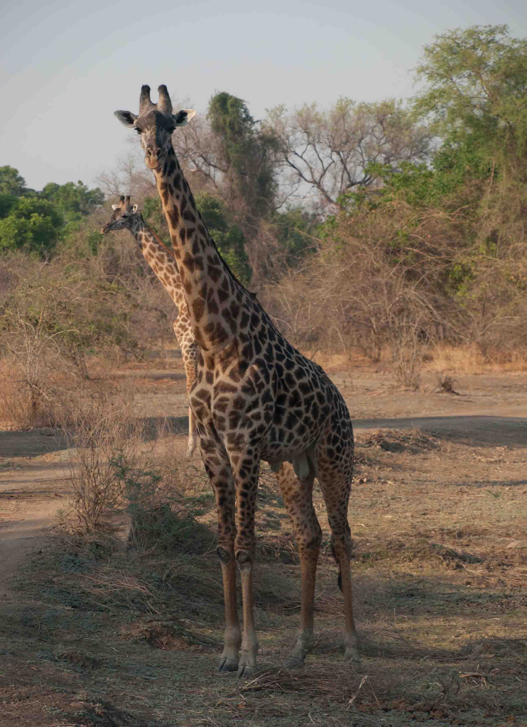 Thornicroft's giraffe